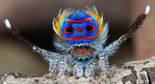 Il ragno pavone danza per conquistare l'amata.