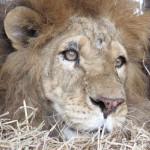 Dai circhi lager al Sudafrica: la nuova vita di 33 leoni