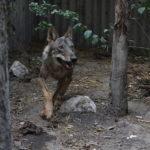 Storia del lupo salvato dal Centro Il Pettirosso