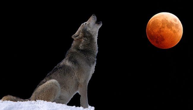 Perché ho firmato contro la caccia al lupo