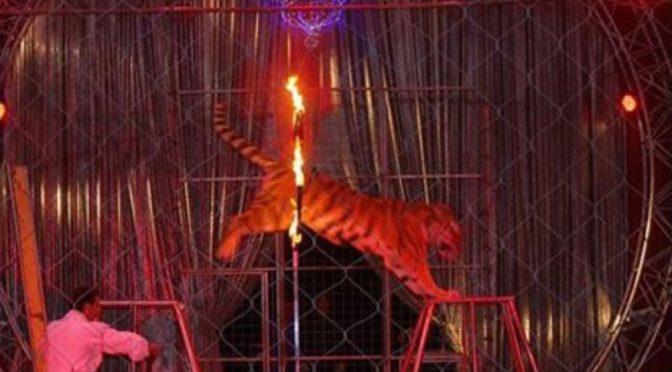 Non voglio più vedere le tigri saltare nel fuoco
