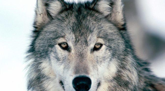 no caccia al lupo