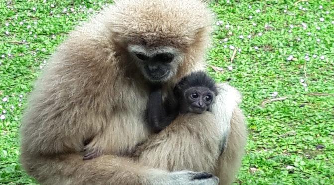 Che nome diamo a questo piccolo gibbone?