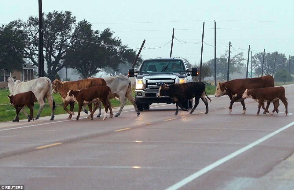 mucche alluvione texas