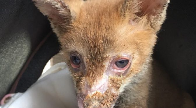 Storia di Rosa, la volpina salvata dall'incendio